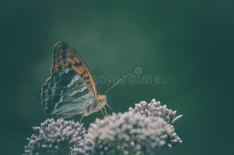 Single large pearly insect orange brown butterfly posed on a flower. Beautiful orange color of the butterfly with the green of the fund. the light shows the stock photography