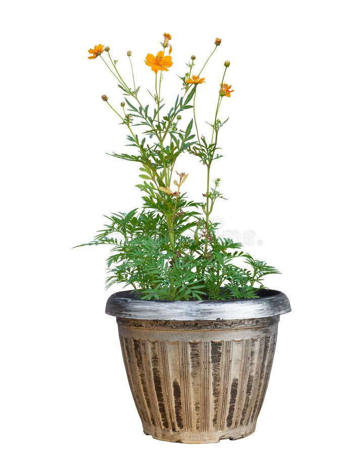 Beautiful orange cosmos flower in pot isolated on white background. royalty free stock images