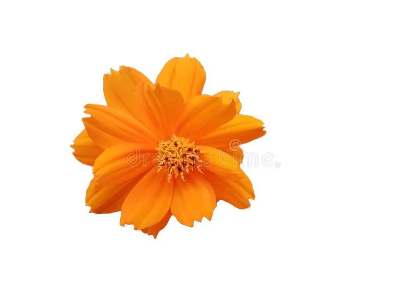 Beautiful orange Cosmos Sulphureus flower isolated on white background stock photos