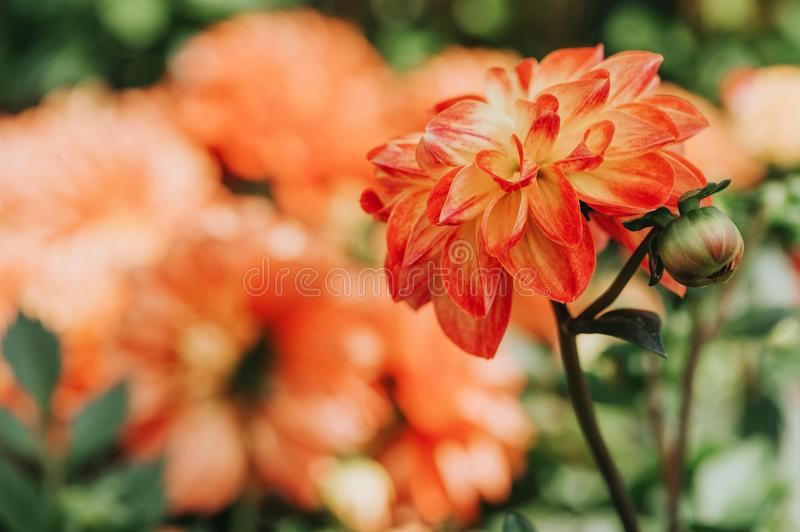 Beautiful orange dahlia flower. Blossoming in the garden royalty free stock images
