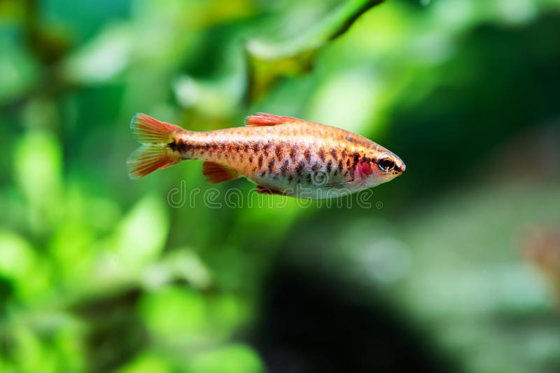 Beautiful orange fish on soft green background. Barb swimming tropical freshwater aquarium tank. Puntius titteya stock photography