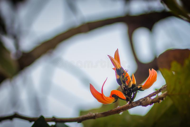 Beautiful orange flame of the forest flowers (Butea monosperma) on tree in the forest. Butea monosperma is also known as T stock photography