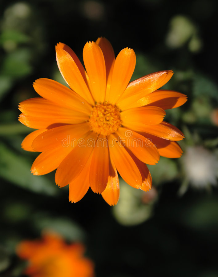 Beautiful orange flower royalty free stock photos