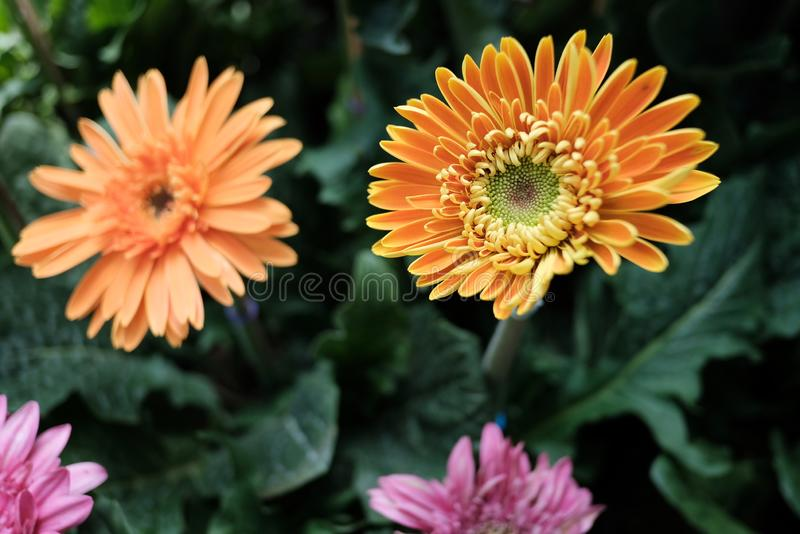 Beautiful orange flower. Blooming in the garden royalty free stock photos