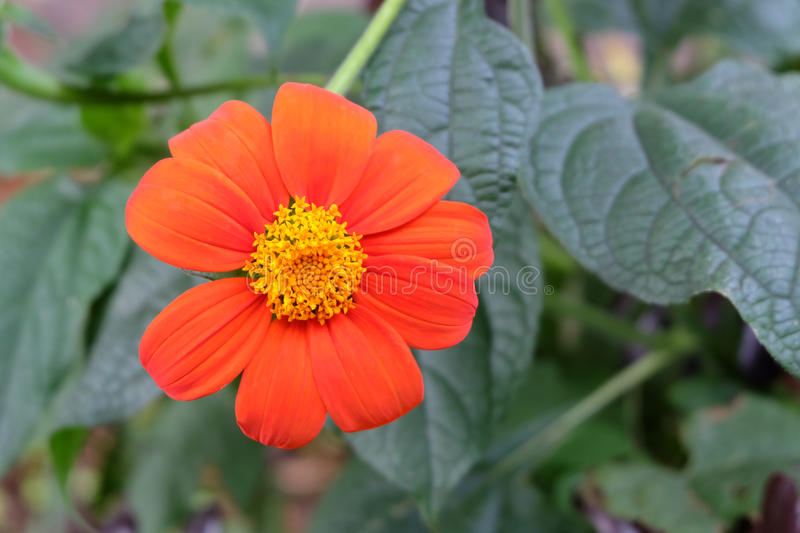 Beautiful orange flower blossom in natural green garden. royalty free stock photos