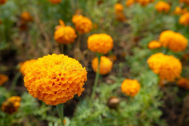 Beautiful orange flower on blurred flowers and green bush background royalty free stock photography