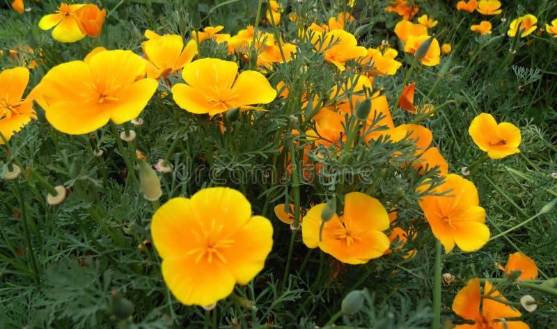 Beautiful orange flower field background. Flowers texture stock image