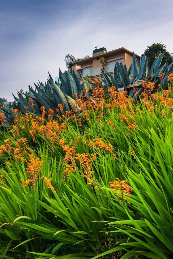 Beautiful orange flowers and house in La Jolla, California. Beautiful orange flowers and house in La Jolla, California royalty free stock photo