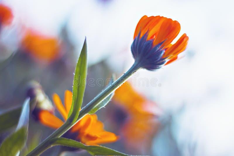 Orange Flower Marigold on light background stock photos