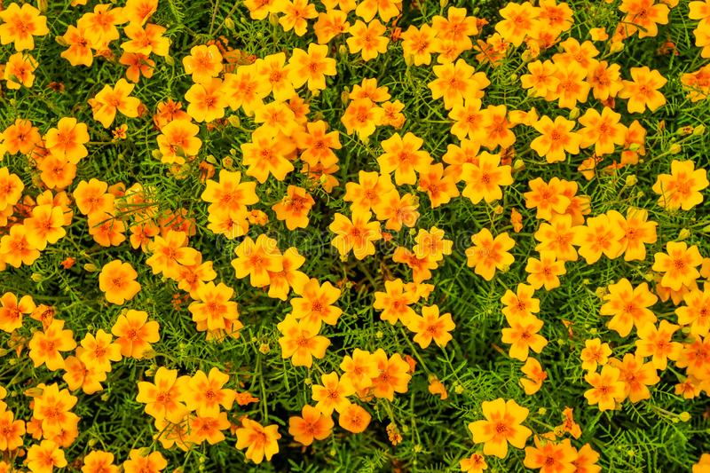 Beautiful orange flowers of thin-leaved marigolds in the garden. Top view for background royalty free stock photo