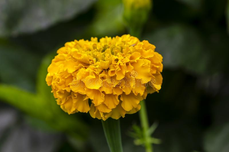 Beautiful orange French marigold in garden royalty free stock photos