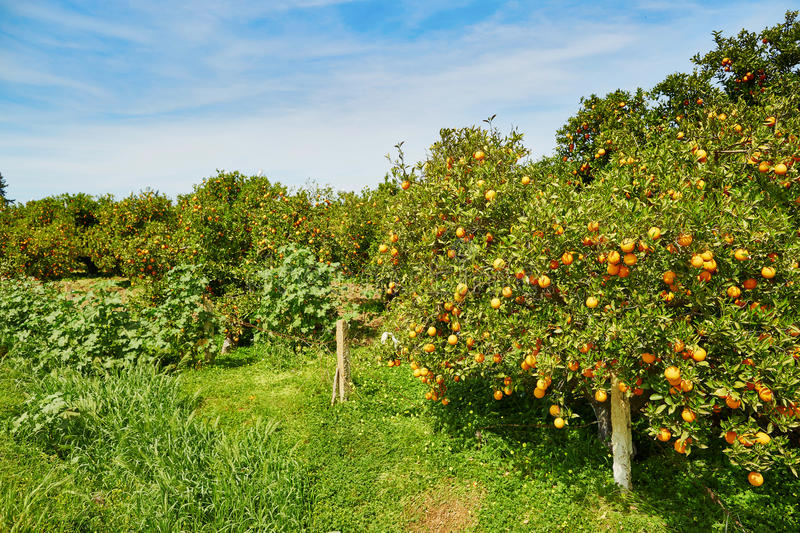 Beautiful orange grove in Northern Morocco. Africa stock photography