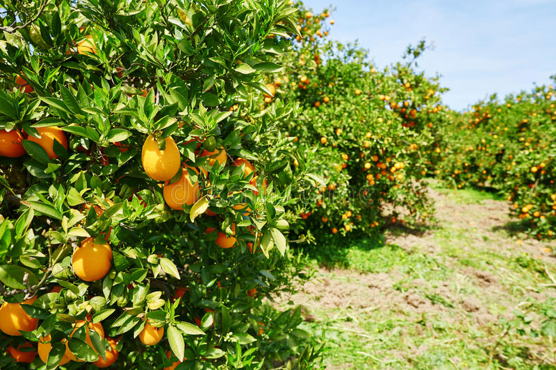 Beautiful orange grove in Northern Morocco. Africa royalty free stock photos