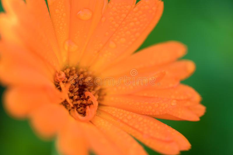 Beautiful orange head flower with drops close up shot after rain. Bright summer background with macto shot flowers calendula, royalty free stock photography
