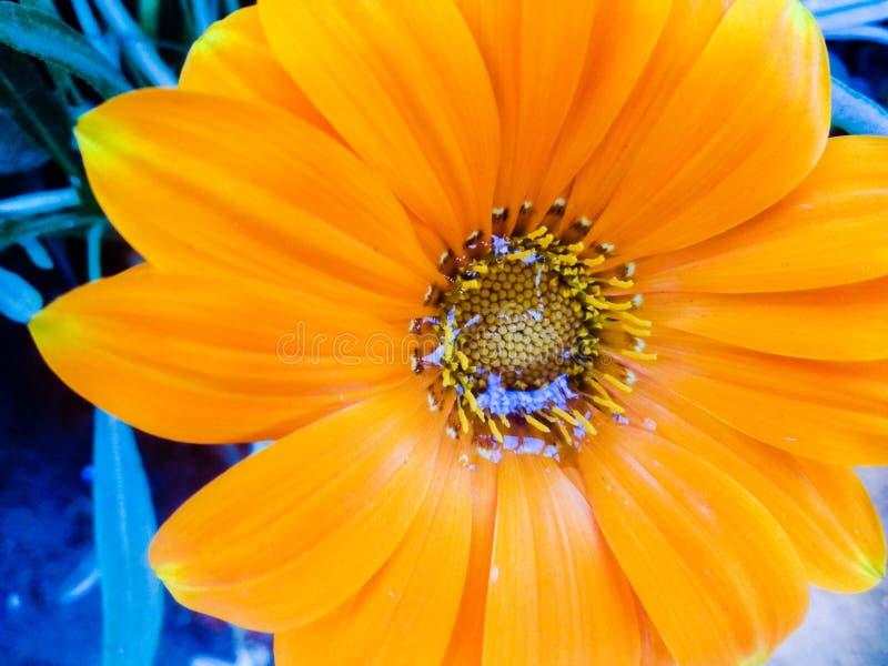 beautiful orange jarberra flower royalty free stock photos