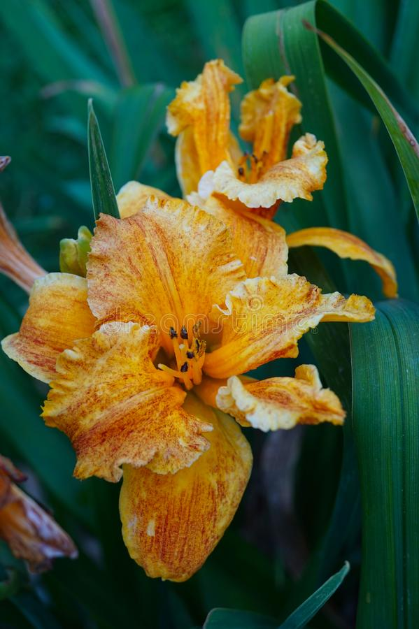 Beautiful orange Lily fully blossomed outside in close up - picture 2 stock image