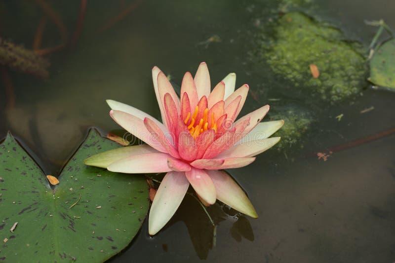Beautiful orange lotus flower in pond. royalty free stock photography