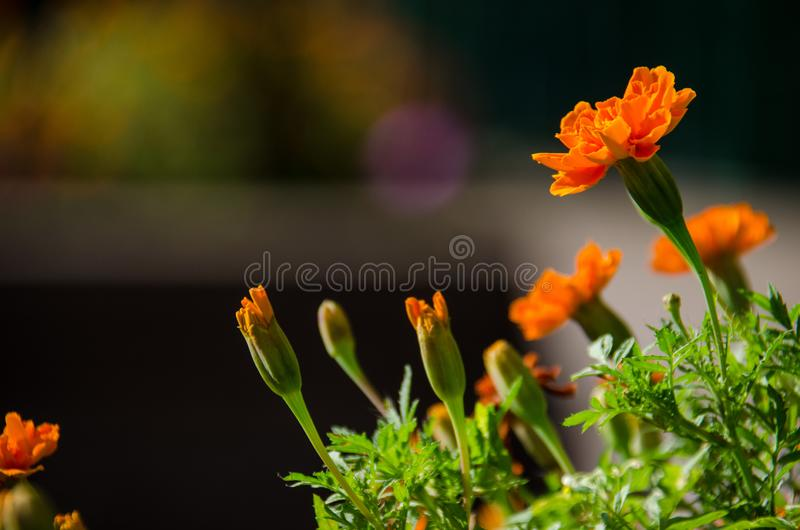 Beautiful orange marigold flower and buds on a bright sunny day royalty free stock image