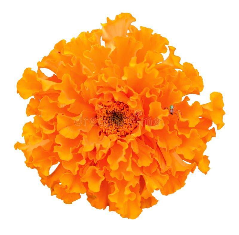 Beautiful orange marigold flower on white background african download beautiful orange marigold flower on white background african marigold stock image image of mightylinksfo