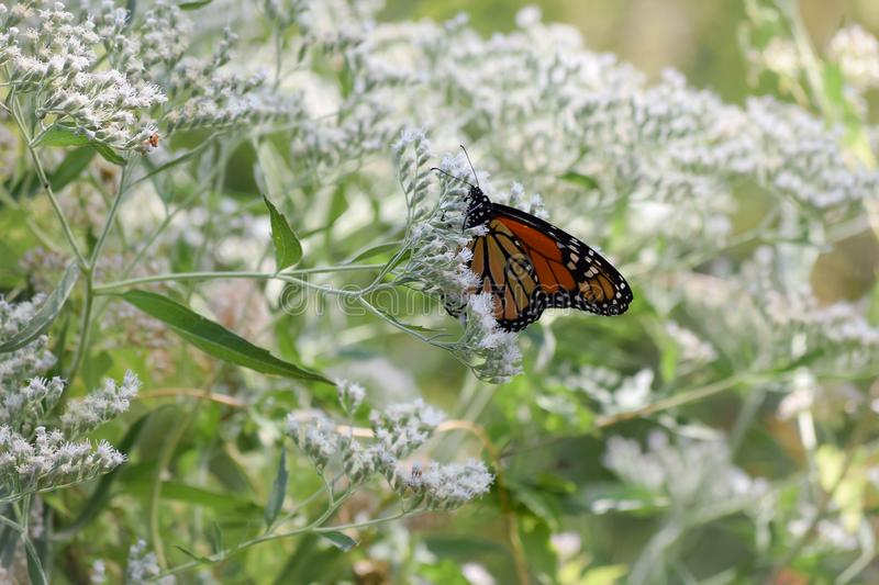 Monarch Butterfly on Tiny White Blooms. A beautiful orange Monarch butterfly is feeding amongst tiny white wildflower blooms stock photography