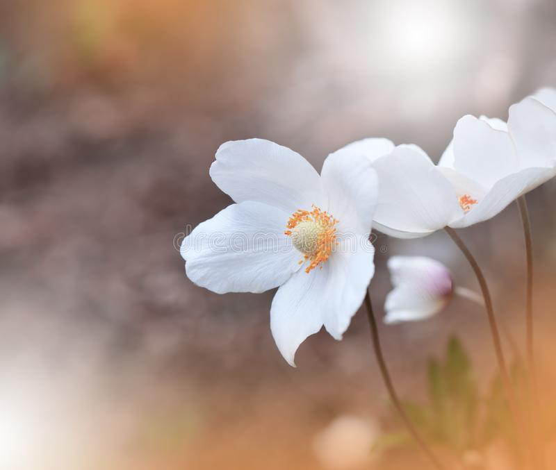 Beautiful Orange Nature Background.Abstract Artistic Wallpaper.Art Macro Photography.Creative Amazing Floral Photo.Anemone Flower. royalty free stock images