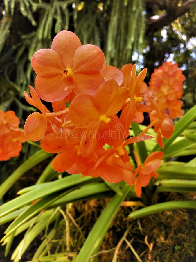 Beautiful Orange orchid  in the gardens.Background Orchid royalty free stock image