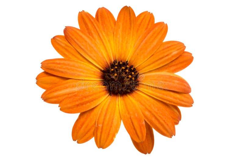 Beautiful orange osteospermum or african daisy flower isolated. On white stock images