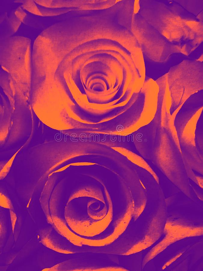 Beautiful orange pink red yellow and black rose flower illustration background and texture in the garden. S stock images