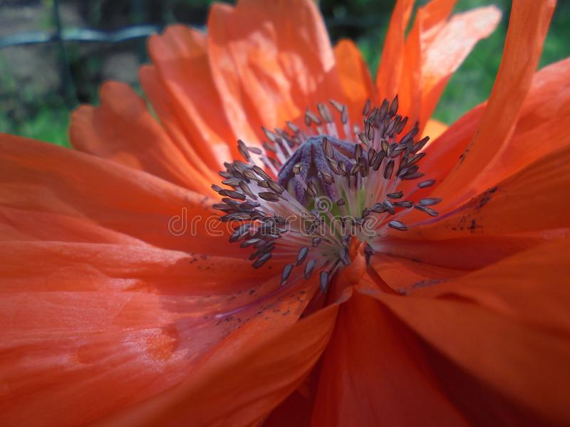 Orange poppy flower with a box of seeds and stamens close-up royalty free stock photos