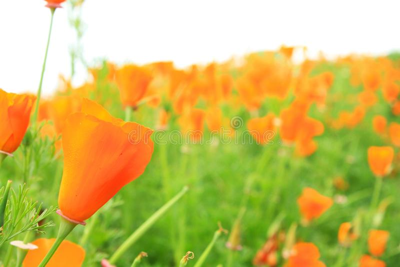 Beautiful orange poppy flower in garden park royalty free stock photography