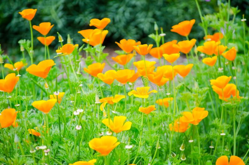 Beautiful Orange poppy flowers with its green trees in a spring season at Botanic garden. stock image