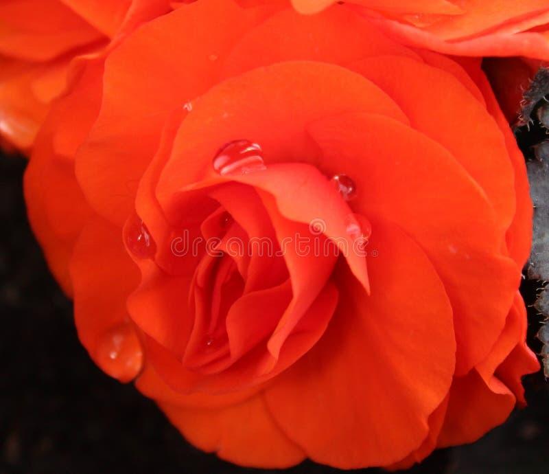 Beautiful orange Ranunculus stock photography