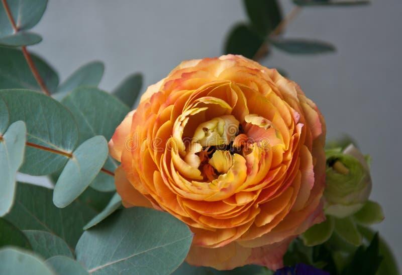Beautiful orange ranunculus flower with eucalyptus branches close up stock photography