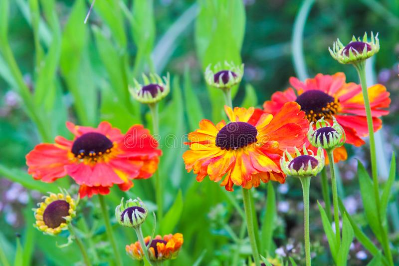 Beautiful, orange, red garden flowers close up stock images