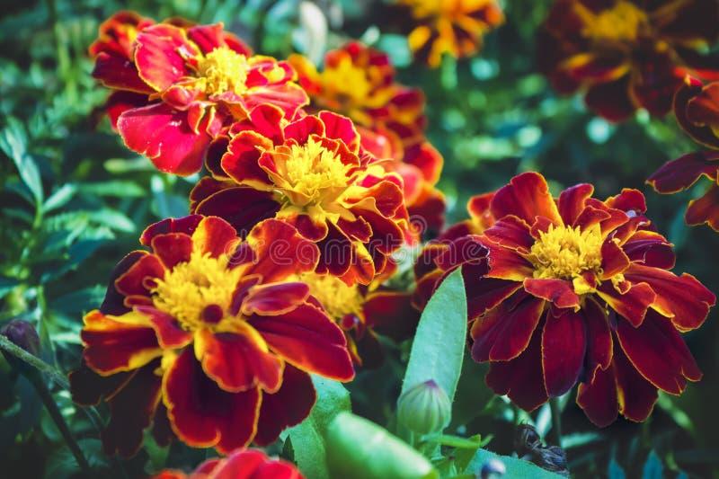 Beautiful orange red marigold flowers background pattern in tagetes garden. stock image