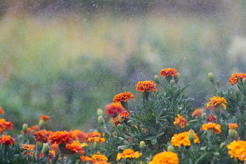 Beautiful orange red marigold flowers and leaves during watering. Tagetes stock images