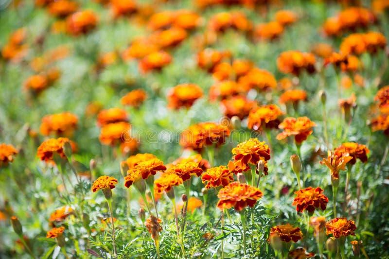 Beautiful orange red marigold flowers. Tagetes garden. Marigold flowers symbol of Ukraine. Floral background pattern stock photography