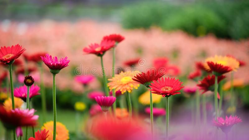 Beautiful orange, red and yellow gerbera daisy in the garden royalty free stock photo
