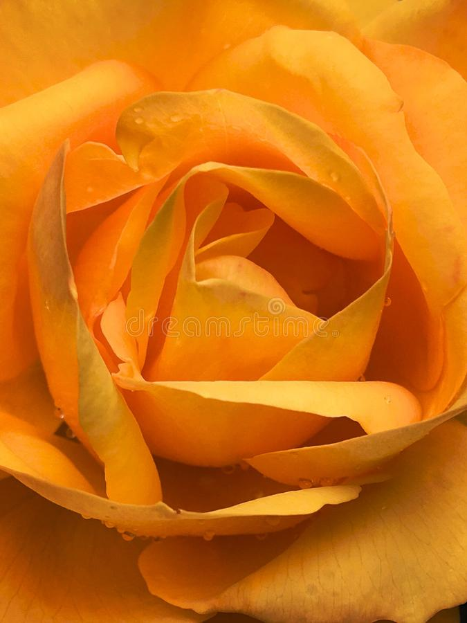 Orange rose closeup shot with rain water droplets. Beautiful Orange rose closeup shot with rain water droplets royalty free stock image