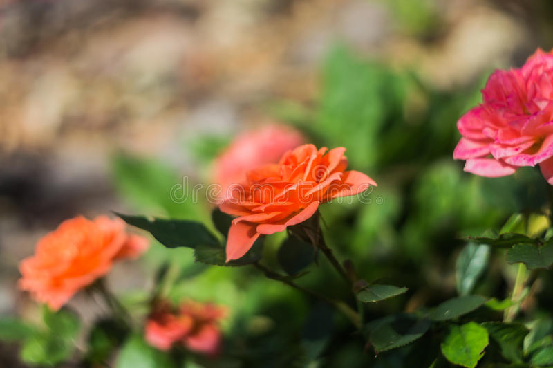 Beautiful orange roses in rose garden.  stock image