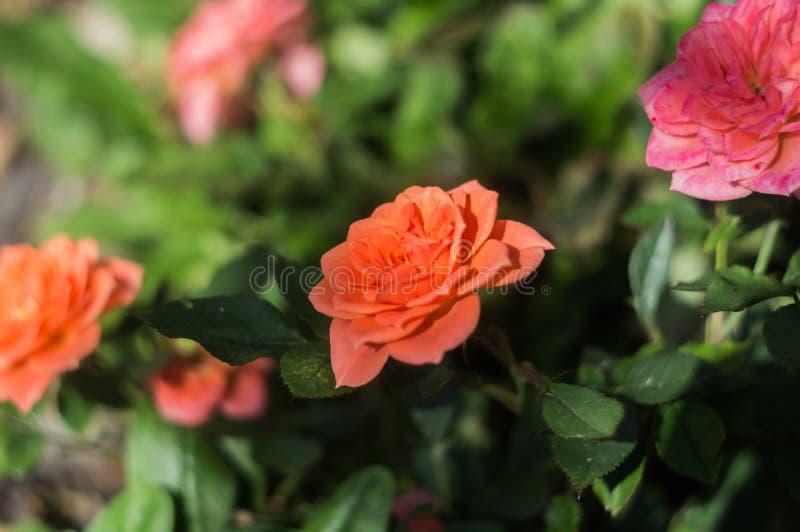Beautiful orange roses in rose garden.  royalty free stock photos