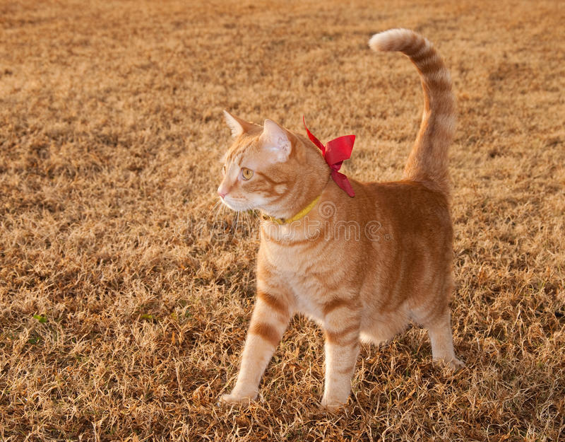 Beautiful orange tabby kitty cat on fall grass. With a bow on his collar stock photography