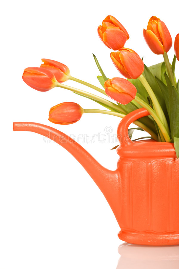 Beautiful orange tulips in watering can - isolated stock image