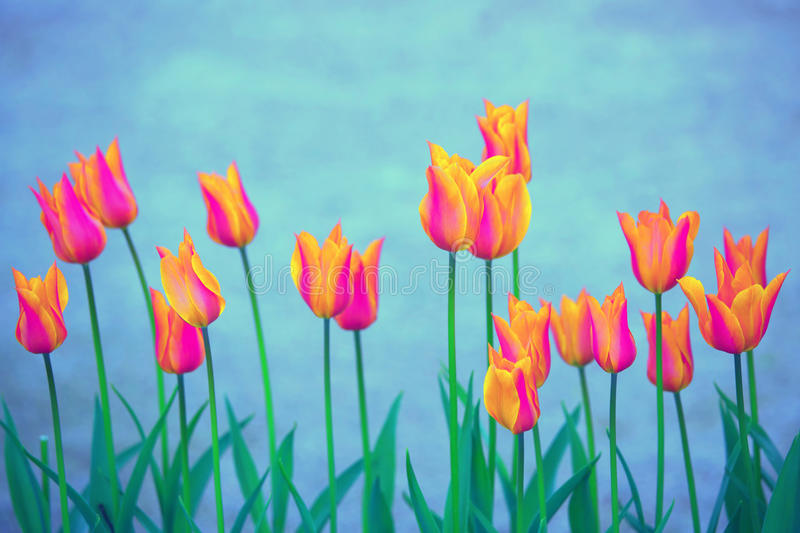 Beautiful orange violet color blurred tulip flowers stock photos