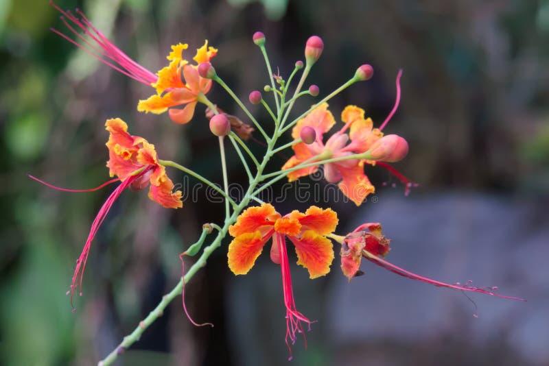 Beautiful orange, yellow and pink cluster of Thai flowers, in a lush Bangkok garden. stock image