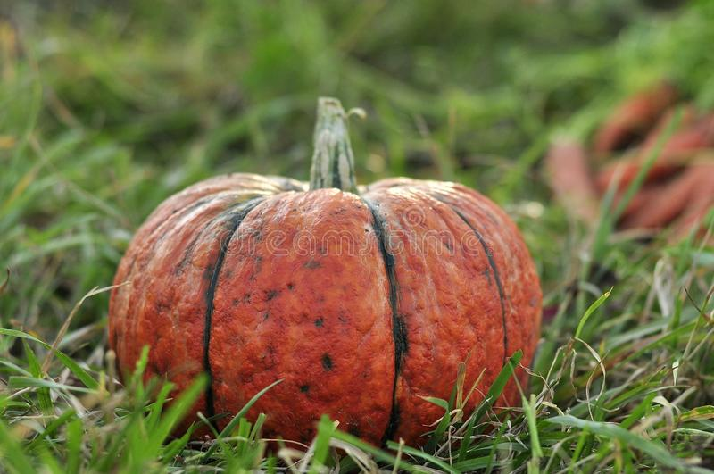Beautiful orange and yellow pumpkins with carrots lie in the green grass, waiting for Halloween with witches and ghosts royalty free stock photos