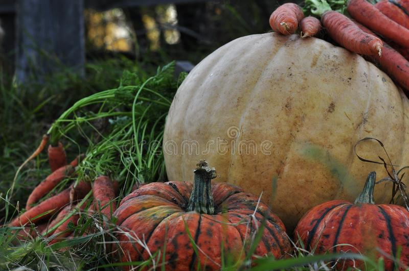 Beautiful orange and yellow pumpkins with carrots lie in the green grass, waiting for Halloween with witches and ghosts. A Large red carrot. Merry holiday with stock images