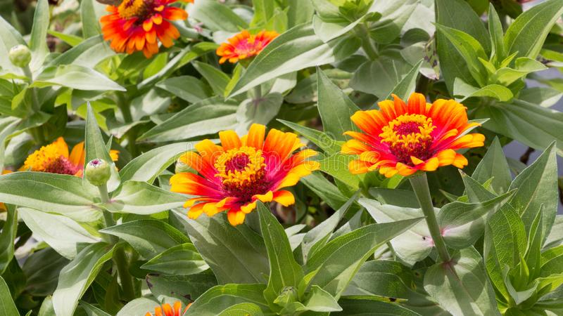 Beautiful Orange and Yellow Zinnia Flowers in Bloom Wide Shot stock images