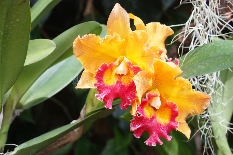 Beautiful oranges orchid in garden,Thai Orchid stock image