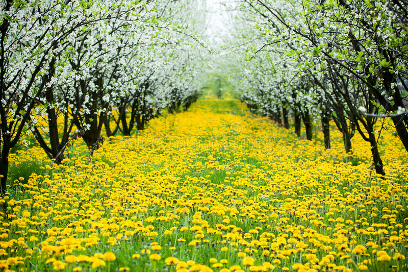 Beautiful orchard with yelow dandelions stock images